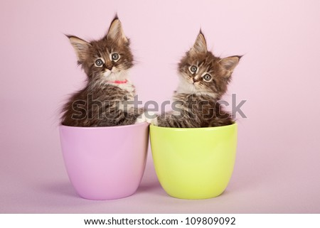 Maine Coon kittens sitting inside bowls containers on lilac pink background - stock photo