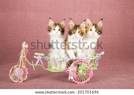 Maine Coon kittens sitting inside miniature metal bicycle wagon decorated with colourful ribbons on mauve dusty pink background  - stock photo