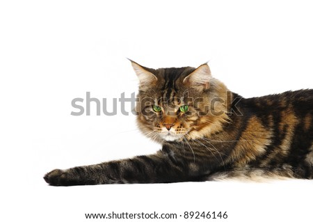 Maine coon male cat in studio on a white background - stock photo