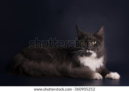 Maine Coon on a blue isolated background - stock photo
