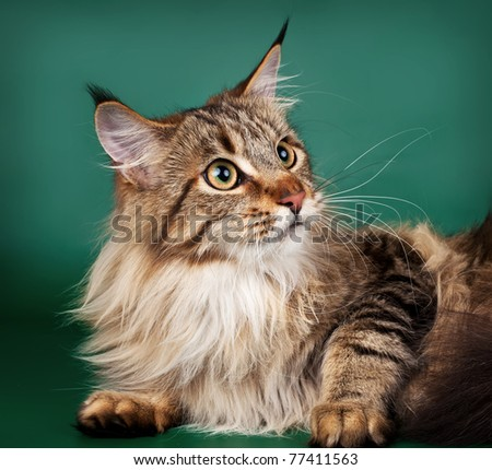 Maine coon on green background - stock photo