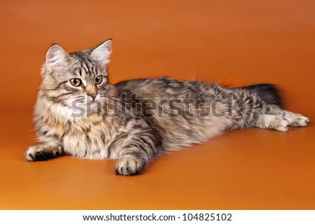 Maine coon on orange background - stock photo
