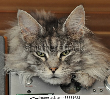 maine coon relaxing on a stereo