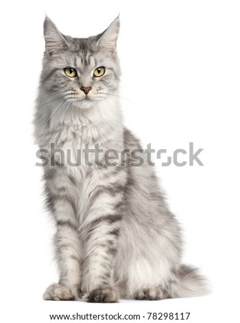 Maine Coon, 2 years old, sitting in front of white background - stock photo