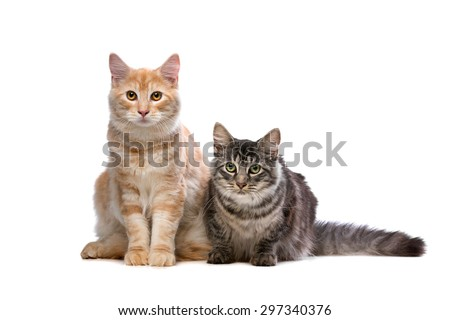Maine Coone and Norwegian Forest cat in front of a white background - stock photo