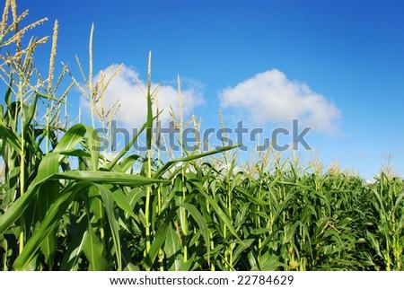 maize against blue sky - stock photo