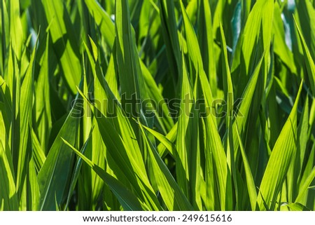 Maize as Bio fuel - stock photo