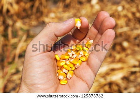 maize in hand over field - stock photo