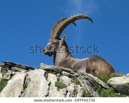 Majestic alpine ibex - stock photo