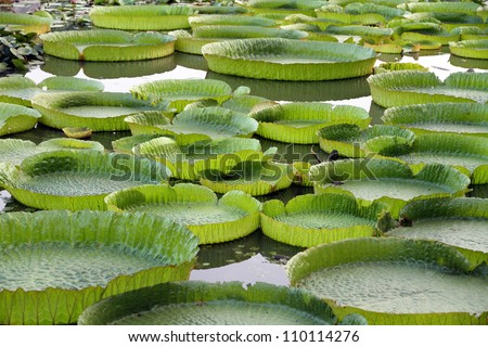 Majestic amazon lily pads in tropical Asia (Victoria Regia) - stock photo