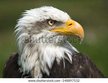 Majestic bald  Eagle Portrait on green