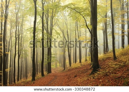 Majestic beech forest in autumnal colors. - stock photo