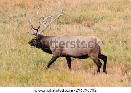 Majestic Bull Elk (Cervus canadensis) in Yellowstone National Park - stock photo