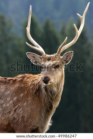 majestic deer - stock photo
