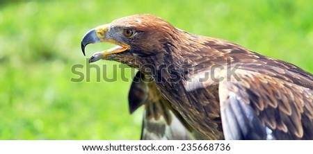 majestic Eagle and opens the berk ready to fly - stock photo