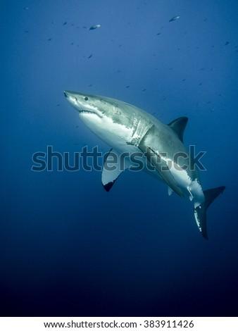 Majestic great white shark - stock photo
