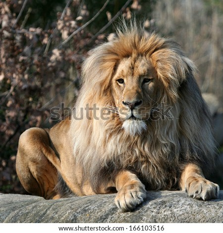 majestic lion portrait  - stock photo