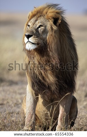 Majestic male lion with large golden mane gazing into the horizon, Serengeti National Park, Tanzania, East Africa - stock photo
