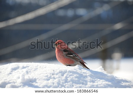 majestic male pine gros beak eating seed on snow - stock photo