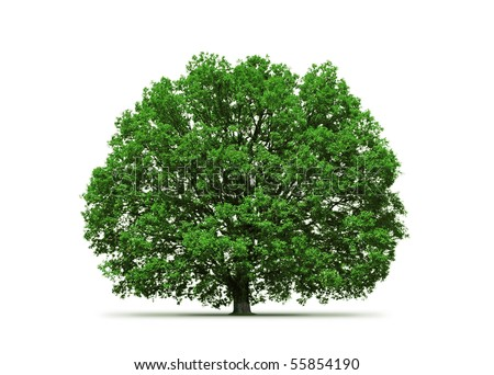 majestic oak tree - stock photo