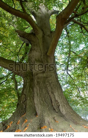 Majestic old tree with big trunk - stock photo