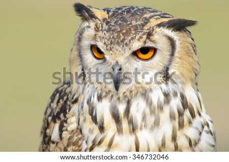 Majestic owl  head  closeup