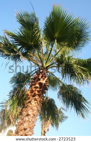 Majestic palm tree - stock photo