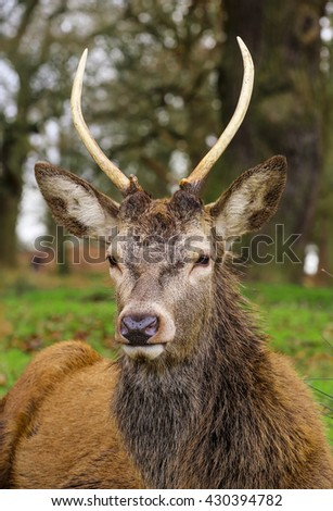 Majestic powerful young male red deer stag in forest