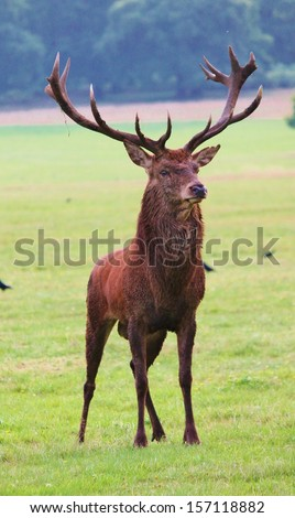 majestic proud red deer stag in open clearing alert at noise - stock photo