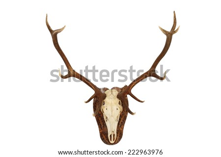 majestic red deer stag ( Cervus elaphus ) hunting trophy, isolated head mounted on wall for your design, animal hunted in Romania, Bucovina - stock photo