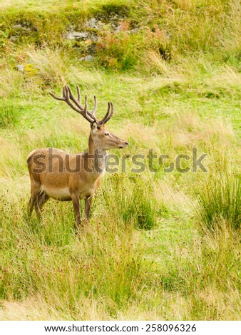 Majestic Red Deer stag looking off into the distance  - stock photo