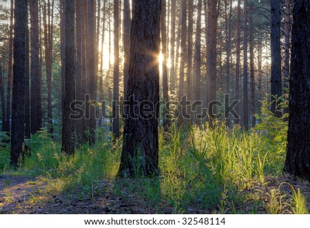 majestic sunset in the woods