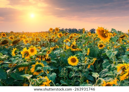 Majestic view of sunflower field glowing by sunlight. Dramatic morning scene. Ukraine, Europe. Beauty world. Retro and vintage style, soft filter. Instagram toning effect. - stock photo