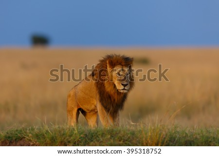 Maji Ya Fisi Lion enjoys the last sun rays on the banks of a river in Masai Mara, Kenya - stock photo