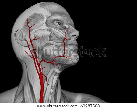 Major Arteries of the Neck - stock photo