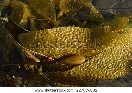 Makrotsistis algae in the ocean with big leaves on the beach. - stock photo