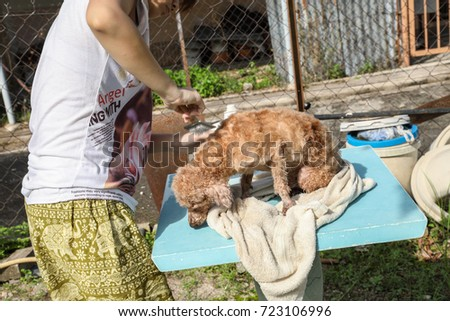 Malacca Malaysia. Sep 16, 2017. Girl grooming her pet poodle with wire grooming brush and he was enjoying it. Poodles are one of the favorite breeds kept as pets.