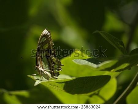 Malachite butterfly at rest Ometepe, Island, Nicaragua - stock photo