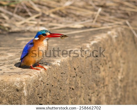 Malachite Kingfisher - stock photo