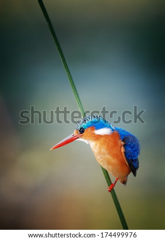Malachite Kingfisher; Alcedo Cristata; Kruger National Park; South Africa - stock photo