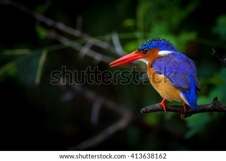 Malachite kingfisher perched on thorn bush branch