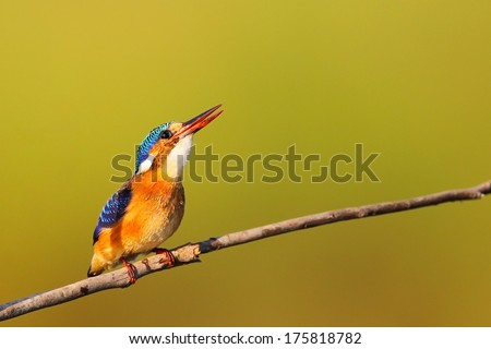 Malachite kingfisher sitting on a thin branch looking up, South Africa