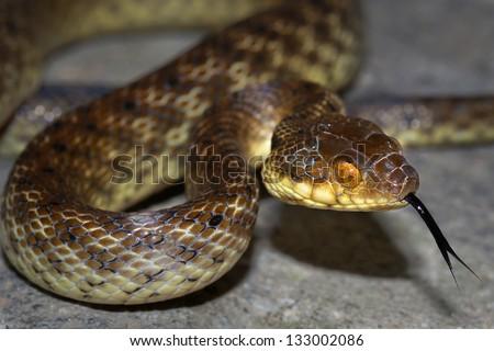 Malagasy Cat-eyed Snake or Madagascar Night Snake (Madagascarophis colubrinus) flicking tongue in the rainforest of Ranomafana, Madagascar. Rear fanged and slightly venomous. - stock photo