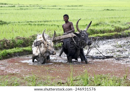 Malagasy farmers plowing agricultural field in traditional way where a plow is attached to bulls, Madagascar - stock photo