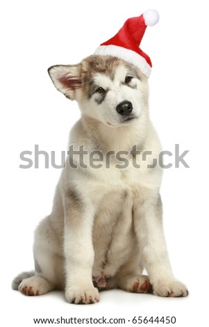 Malamute puppy in Christmas hat on a white background - stock photo