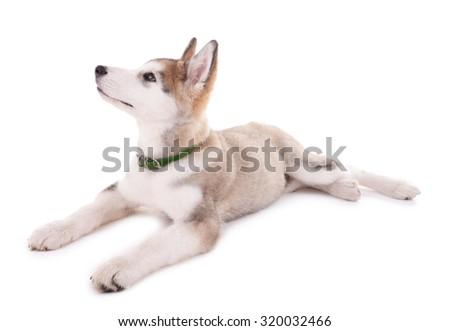 Malamute puppy isolated on white - stock photo
