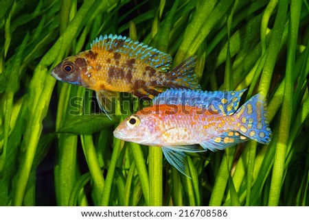 Malawi  Cichlid - stock photo