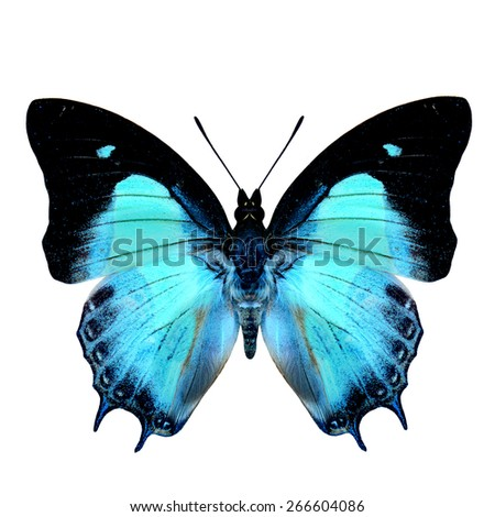 Malay Nawab butterfly upper wing part in natural pale green color isolated on white background