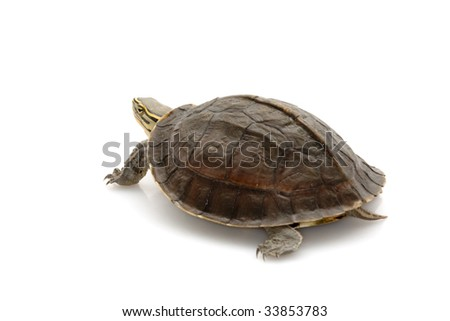 Malayan Box Turtle (Cuora amboinensis) isolated on white background.