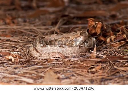 Malayan pit viper Rattlesnake on the ground - stock photo